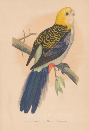 Pale headed or mealy Rosella.