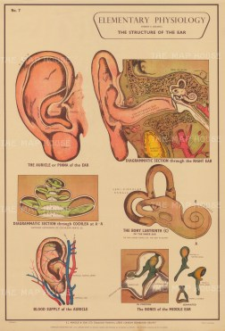 Elementary Physiology: Structure of the ear with details.