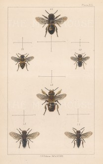 Sharp-tailed bee (1. Coelioxys Vectis), Coastal leaf-cutter bee (2. Megachile maritima), and Argentinian leaf- cutter bee (3.Megachile argentata).