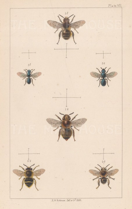 Tailed flower bee (1. Anthophora furcata),Long-horn flower bee (2. Sarapoda bimaculata) and Thumbnail bee (3. Certina caerulea).