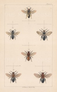 Tawny Mining Bee (1. Andrena fulva), Ashy mining bee (2.Andrena cineraria) and Grey patched mining bee (3. Andrena nitida).