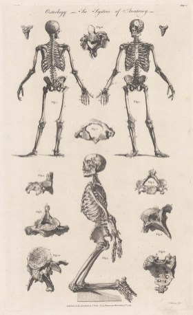 An anterior, posterior and kneeling skeleton with details of parts of the pelvic structure