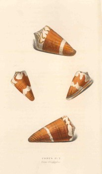 Conus lithoglyphus: Ermine cone from the Indian Ocean, four aspects.