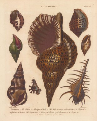 Triton, Wry mouthed, Umbilicated, Plicated, Gullered, Whelks, Thorny Woodcock, Strombus and Pupura.