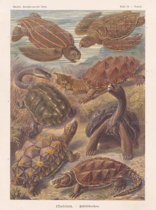 Chelonia. 1. Dermatochelys coriacea, 2. Caretta imbricata, 3. Hydromeda tectifera, 4. Chelys fimbriata, 5. Testudo geometrica, 6. Testudo elephantina, 7. Chelydra serpentina.
