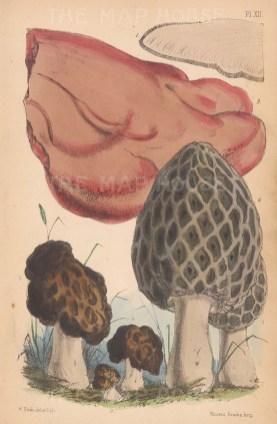 1, 2. Fistulina hepatica 3, 4, 5. Helvella esculenta. 6. Morchella esculenta.