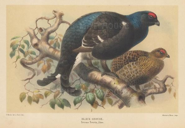 "Porter: Black Grouse. 1897. An original hand coloured antique lithograph. 8"" x 5"". [FIELDp1530]"