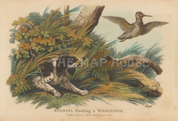 Spaniel flushing a Woodcock.
