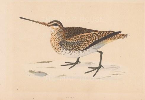 "Morris: Snipe. 1855. An original hand coloured antique lithograph. 8"" x 5"". [FIELDp1585]"