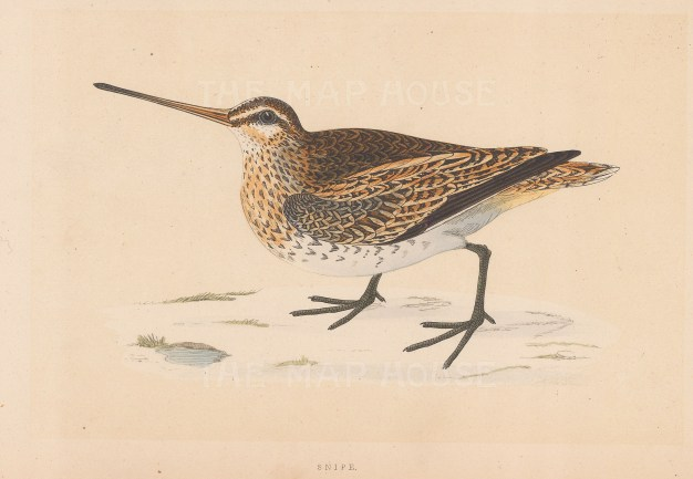 "Morris: Snipe. 1855. An original hand coloured antique lithograph. 8"" x 5"". [FIELDp1585]"