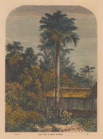 Palm Tree of the Great Andaman Islands.