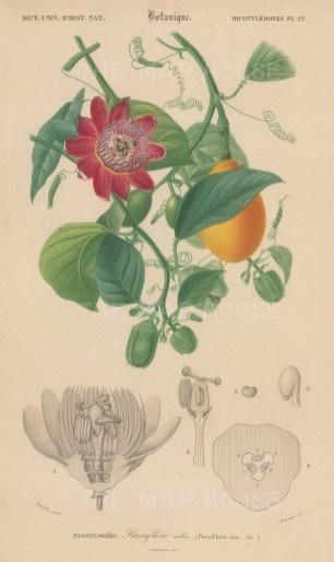 "d'Orbigny: Passionfruit. 1849. An original antique hand coloured lithograph. 6"" x 9"". [NATHISp7365]"