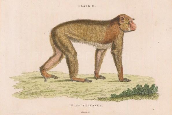 Barbary Macaca. Incus Sylvanus