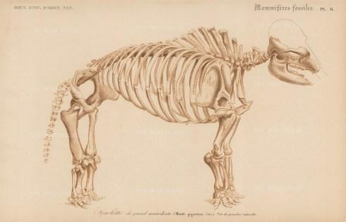 "d'Orbigny: Mastadon Giganticus. 1849. An original antique lithograph. 9"" x 6"". [NATHISp7538]"