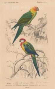 """d'Orbigny: Carolina and Nonpareil Parrot. 1849. An original antique hand coloured lithograph. 6"""" x 9"""". [NATHISp7714]"""