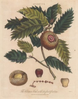 Chinese oak with its frutifications. Engraved by John Pass.