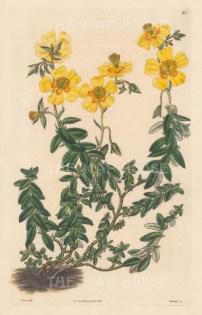 Helianthemum serpyllifolium, Serpyllum-leaved Sun-Rose.