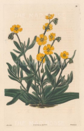 Pentaphylloides floribunda.