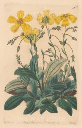 Helianthemum Tuberaria, Plantain-leaved Sun-Rose.