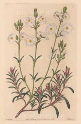 Helianthemum umbellatum, Umbel-flowered Sun Rose.