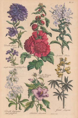 Double China Aster, Double Crimson Hollyhock, Spotted Phlox, Single Violet Stock July Flower, Double variegated Stock July Flower, Trilobate Lavatera, and Giant Lupine.
