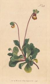 Calceolaria Fothergill.