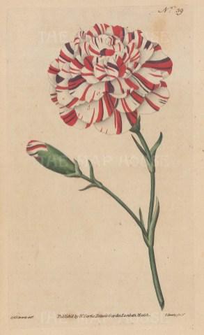 Franklin's Tartar. Scarlet Bizarre Carnation.