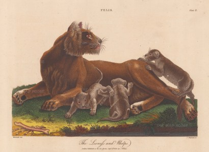 """Wilkes: Lioness and whelps. 1810. An original hand coloured antique copper engraving. 11"""" x 8"""". [NATHISp8149]"""
