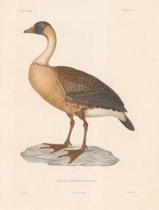 Hawaiian Goose: After Florent Prevost, ornithologist on the voyage of La Bonite 1836-7.