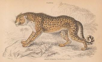 "Jardine: Cheetah. 1843. An original hand coloured antique lithograph. 6"" x 4"". [NATHISp8103]"