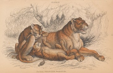 """Jardine: Lioness and Cubs. 1843. An original hand coloured antique lithograph. 6"""" x 4"""". [NATHISp8108]"""
