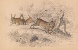 "Jardine: Rabbits. 1843. An original hand coloured antique lithograph. 6"" x4"". [NATHISp8115]"