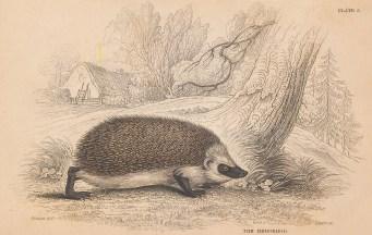 """Jardine: Hedgehog. 1843. An original hand coloured antique lithograph. 6"""" x 4"""". [NATHISp8117]"""