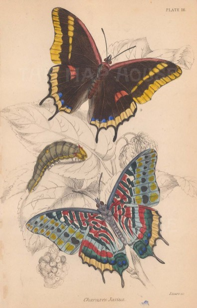 Foxy Emperor Butterfly (Charaxes jasius): Upper and underside view with chrysalis.