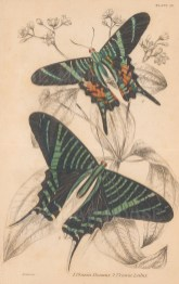Swallowtail Butterflies: Zebra (Papilio Protesilaus) and Peacock (Papilio Sinon).