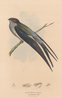 Swift: Macropteryx longipennis. Long winged crested Swift with detail of beak and clawed feet.