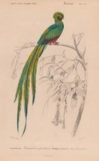 "d'Orbigny: Peacock Trogon. 1849. An original antique hand coloured lithograph. 6"" x 9"". [NATHISp8062]"