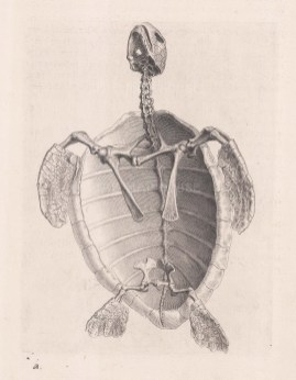 Animal Anatomy: Sea Turtle.