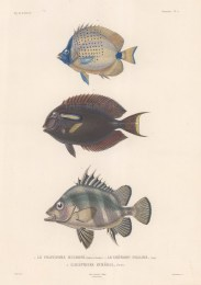 Butterflyfish: Banded Jobfish (Pristipome Mucrone), Millet Butterflyfish (Chetadon Miliare) and Surgeonfish (Acanthure Humeral).