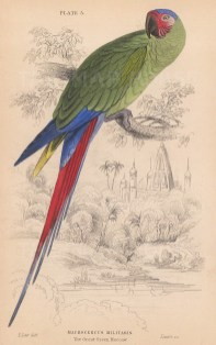"""Jardine: Great Green Macaw. 1843. An original hand coloured antique lithograph. 6"""" x 4"""". [NATHISp8120]"""
