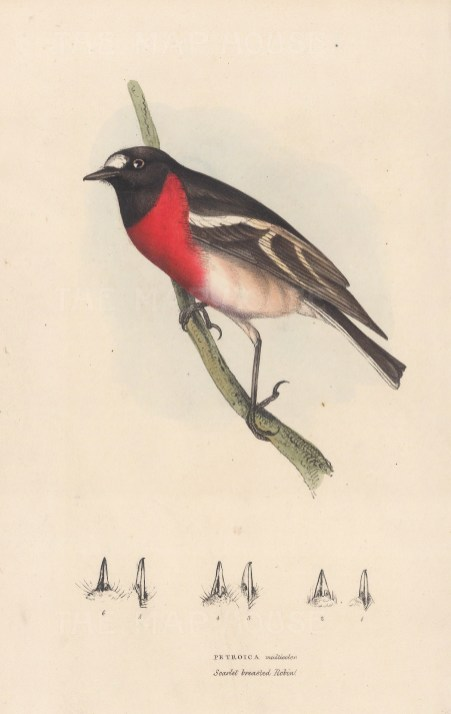 """Swainson: Scarlet breasted Robin. 1833. An original hand coloured antique lithograph. 6"""" x 9"""". [NATHISp8156]"""