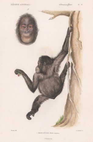 """d'Orbigny: Orangutang. 1849. A hand coloured original antique lithograph. 6"""" x 9"""". [NATHISp8174]"""