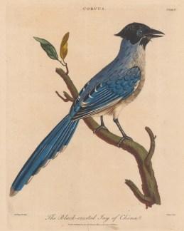 Corvus: Black-crested Jay of China (Corvus cirrhatus). After Johann Lebrecht Reinold, engraved by John Pass.