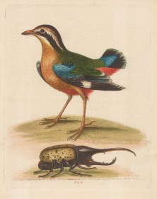Pye: Short-tailed Pye of the East Indies with an Elephant beetle.