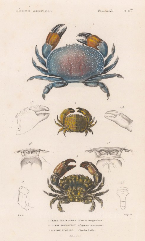 Crabs: Red egg (Cancer intergerrimus), Hairy tank ( Zozymus tomentosus), and Gorilla (Xanthe floridus) crabs.