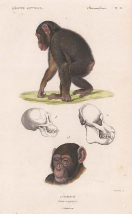 """d'Orbigny: Chimpanzee. 1849. A hand coloured original antique lithograph. 6"""" x 9"""". [NATHISp8173]"""