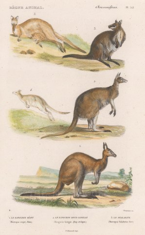 Kangaroo: Eastern grey (Macropus major) and Red (Kangaurus laniger) kangroos with a Swamp Wallaby (Macropus Ualabatus).