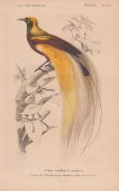 "d'Orbigny: Greater Bird of Paradise. 1849. An original antique hand coloured lithograph. 6"" x 9"". [NATHISp8060]"
