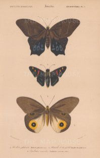 Butterflies: Hoetera Philoctetes, Hyades Horsfieldii, Eudamus Versicolor.