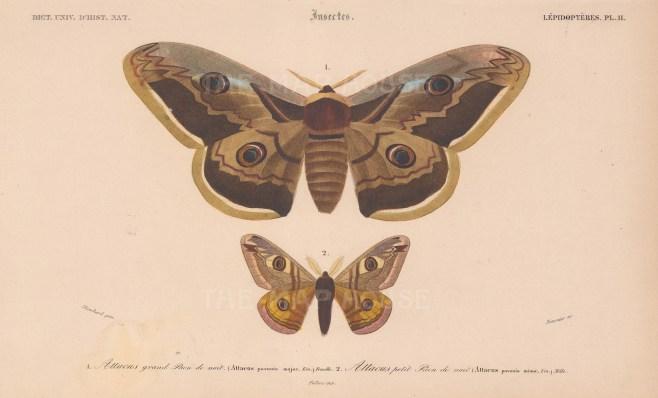 Atlas Moths: Atticus pavonia major and minor.